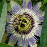 fleur-fruit-de-la-passion